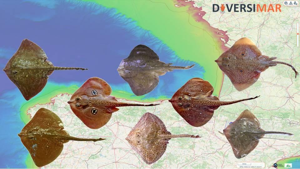 DIVERSIMAR_Rajidae